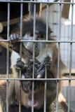 Λυπημένος πίθηκος Στοκ Εικόνα