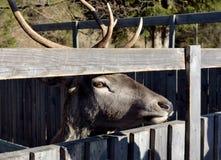 Λυπημένος τάρανδος Στοκ εικόνες με δικαίωμα ελεύθερης χρήσης