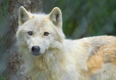 Λυπημένος λύκος Στοκ Εικόνα