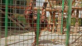Λυπημένος orangutan σε ένα κλουβί εξετάζει τη κάμερα, ένας orangtutan στο κλουβί του ζωολογικού κήπου φιλμ μικρού μήκους