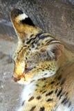 λυπημένος serval Στοκ Εικόνα