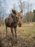 Λυπημένο ζώο αλκών αλκών στο δάσος Στοκ Φωτογραφίες