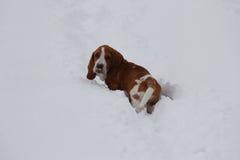 Λυπημένο κουτάβι κυνηγόσκυλων μπασέ Στοκ Εικόνες
