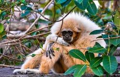 Λυπημένο να φανεί εφέστιος θεός Gibbon Hylobates εφέστιων θεών, επίσης γνωστός ως άσπρο χέρι στοκ εικόνα με δικαίωμα ελεύθερης χρήσης