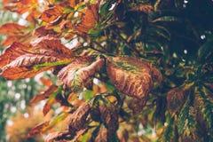 Λυπημένο πάρκο φθινοπώρου Φύλλωμα φθινοπώρου του κάστανου στοκ εικόνες