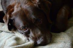 Λυπημένο παλαιό κουρασμένο retriever του Λαμπραντόρ σοκολάτας Στοκ Εικόνες