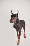Λυπημένο σκυλί λίγα φοβισμένα Στοκ Εικόνες