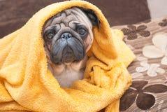 Λυπημένο σκυλί μαλαγμένου πηλού που τυλίγεται σε ένα κίτρινο κάλυμμα υφασμάτων Στοκ Εικόνες