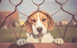 Λυπημένο σκυλί που κοιτάζει μέσω της πύλης στοκ εικόνες