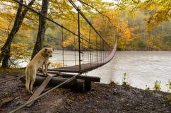 Λυπημένο σκυλί στη γέφυρα Το σκυλί που μοιάζει με ένα Λαμπραντόρ, στέκεται στην άκρη της γέφυρας αναστολής σιδήρου πέρα από τον π στοκ εικόνα με δικαίωμα ελεύθερης χρήσης