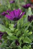 Λυπημένο σπασμένο αλλά όμορφο λουλούδι Στοκ Φωτογραφίες