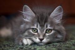 Λυπημένο χνουδωτό γατάκι στο μαλακό τάπητα στοκ εικόνες