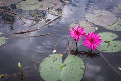 Λωτός και φύλλο λουλουδιών κρίνων νερού στοκ εικόνα