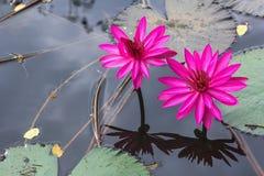 Λωτός και φύλλο λουλουδιών κρίνων νερού Στοκ φωτογραφίες με δικαίωμα ελεύθερης χρήσης