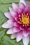 λωτός λουλουδιών κινημ&al Στοκ Φωτογραφία