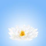 λωτός λουλουδιών ομορ&p Στοκ φωτογραφίες με δικαίωμα ελεύθερης χρήσης
