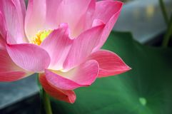 λωτός λουλουδιών Στοκ Εικόνες