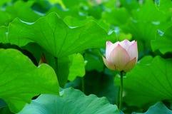 λωτός λουλουδιών Στοκ εικόνα με δικαίωμα ελεύθερης χρήσης