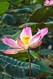 λωτός λουλουδιών seedpod Στοκ φωτογραφίες με δικαίωμα ελεύθερης χρήσης