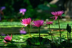 λωτός λουλουδιών Στοκ Εικόνα