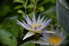 Λωτός λουλουδιών με τις μέλισσες Στοκ Εικόνες