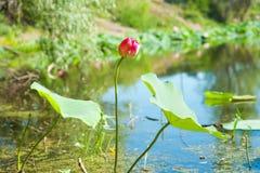 Λωτός λουλουδιών στη λίβρα Στοκ φωτογραφίες με δικαίωμα ελεύθερης χρήσης