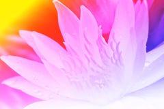 Λωτός λουλουδιών pistil Στοκ Εικόνα