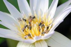 Λωτός σμήνων μελισσών στοκ εικόνες