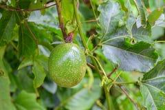 Λωτός στο αγρόκτημα (Fetid passionflower) Στοκ εικόνα με δικαίωμα ελεύθερης χρήσης