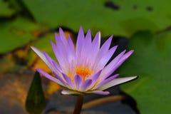 Λωτός τομέων λουλουδιών Στοκ φωτογραφίες με δικαίωμα ελεύθερης χρήσης