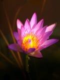 λωτός 02 λουλουδιών Στοκ Εικόνες