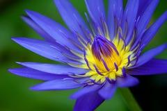 Λωτός Violett Στοκ Φωτογραφία