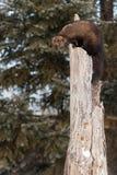 Λόρδοι pennanti του Φίσερ Martes κάτω από επάνω στο δέντρο Στοκ Εικόνες