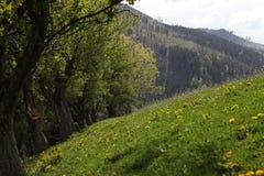 Λόφος λιβαδιών με τις πικραλίδες Στοκ Φωτογραφίες