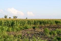 λόφος πεδίων βραδιού καλαμποκιού ανασκόπησης Διαδικασία της αύξησης του καλαμποκιού, αυτό ακόμα πράσινα επίσης άνθη Στοκ Εικόνα