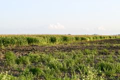 λόφος πεδίων βραδιού καλαμποκιού ανασκόπησης Διαδικασία της αύξησης του καλαμποκιού, αυτό ακόμα πράσινα επίσης άνθη Στοκ εικόνα με δικαίωμα ελεύθερης χρήσης