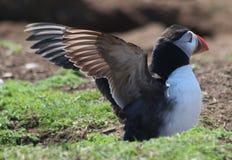 Λύγισμα puffin των φτερών Στοκ Εικόνες