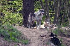 λύκοι ζευγαριού Στοκ φωτογραφία με δικαίωμα ελεύθερης χρήσης