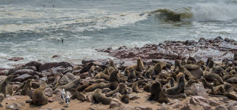 Λύκοι θάλασσας που στηρίζονται στο σταυρό ακρωτηρίων - Ναμίμπια Στοκ Εικόνες