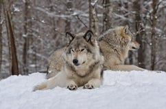 Λύκοι ξυλείας Στοκ εικόνες με δικαίωμα ελεύθερης χρήσης