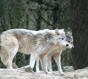 λύκοι Στοκ εικόνες με δικαίωμα ελεύθερης χρήσης