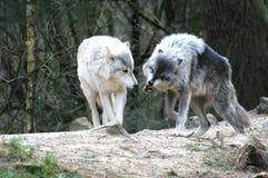 λύκοι Στοκ εικόνα με δικαίωμα ελεύθερης χρήσης