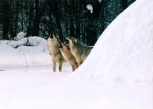 λύκοι Στοκ Εικόνες