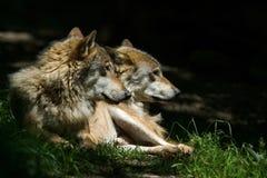 λύκοι Στοκ φωτογραφίες με δικαίωμα ελεύθερης χρήσης