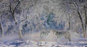 Λύκοι Yellowstone Στοκ εικόνα με δικαίωμα ελεύθερης χρήσης