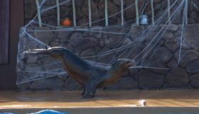 λύκος 2 θάλασσας Στοκ Φωτογραφίες