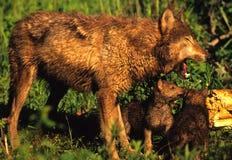 λύκος κουταβιών μητέρων Στοκ φωτογραφίες με δικαίωμα ελεύθερης χρήσης