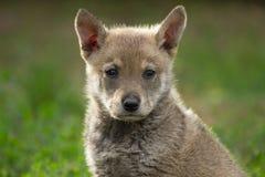 Λύκος κουταβιών Στοκ φωτογραφία με δικαίωμα ελεύθερης χρήσης