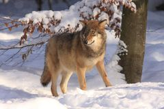 λύκος Λύκου canis Στοκ Εικόνα
