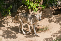 Λύκος με μια άποψη Στοκ Εικόνες